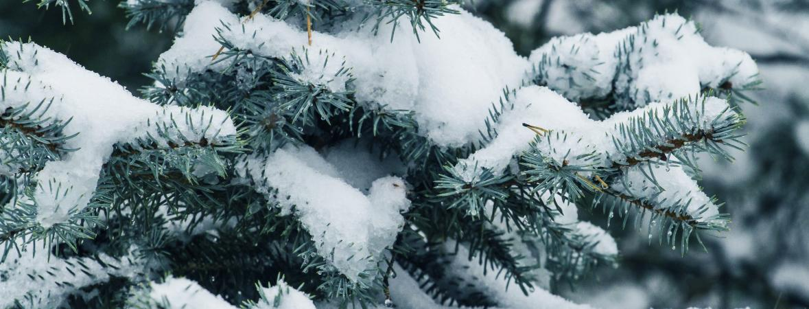 closeup of a snowy evergreen tree