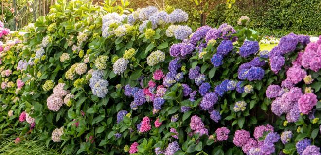 flowers - hydrangea